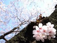 gyoen_sakura